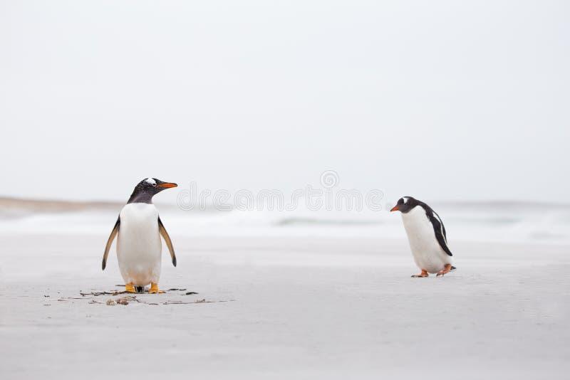 Gentoo Penguins on a deserted white sand beach. Falkland Islands royalty free stock photos