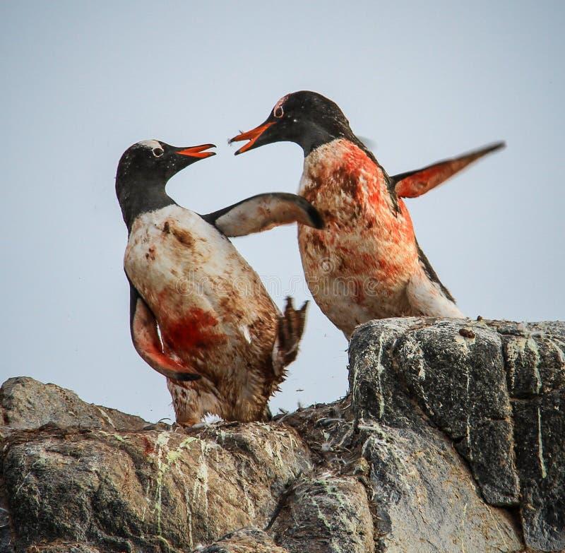 Gentoo Penguins fighting, Antarctica royalty free stock images