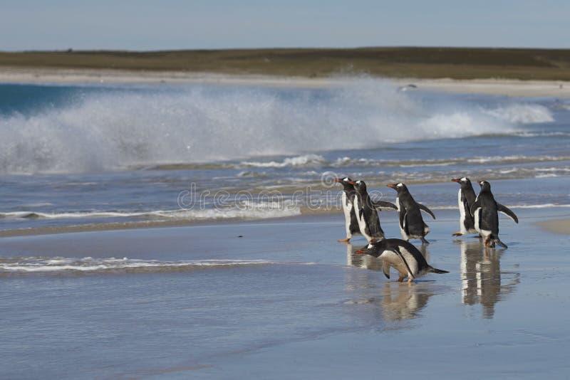 Gentoo Penguins going to sea on Bleaker Island stock image
