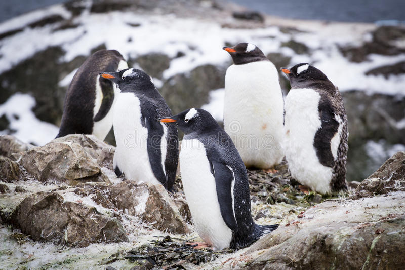 Gentoo penguins. A group of gentoo penguins at Western Antarctic Peninsula stock image