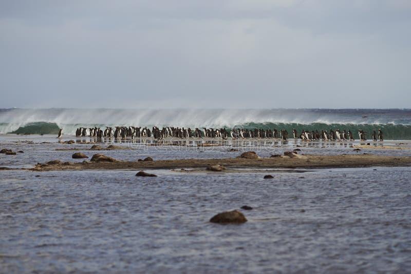 Gentoo Penguins head to sea stock photos