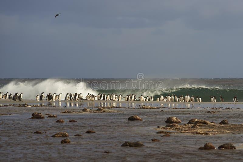 Gentoo Penguins head to sea royalty free stock image