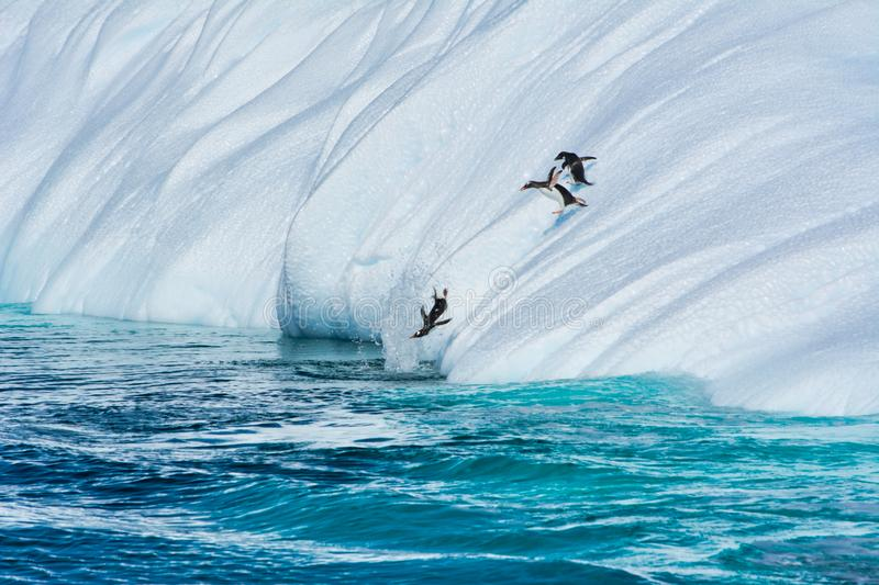 Gentoo penguins jumping from the iceberg in Antarctica royalty free stock photography