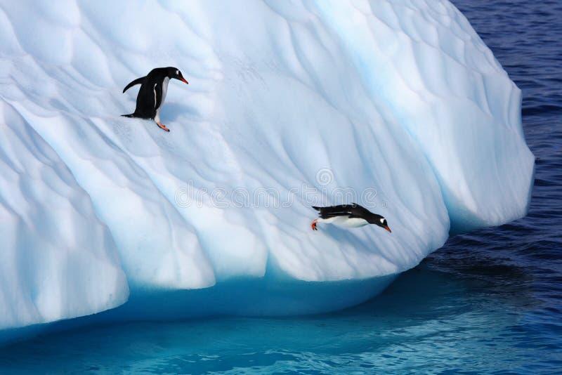 Gentoo Penguins jumping from an iceberg stock photos