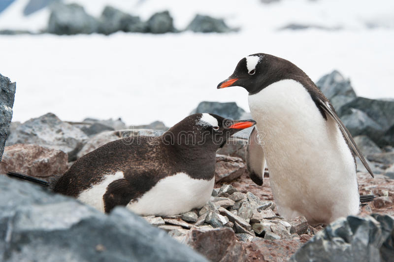 Download Gentoo Penguins On The Nest Stock Photo - Image: 26826084