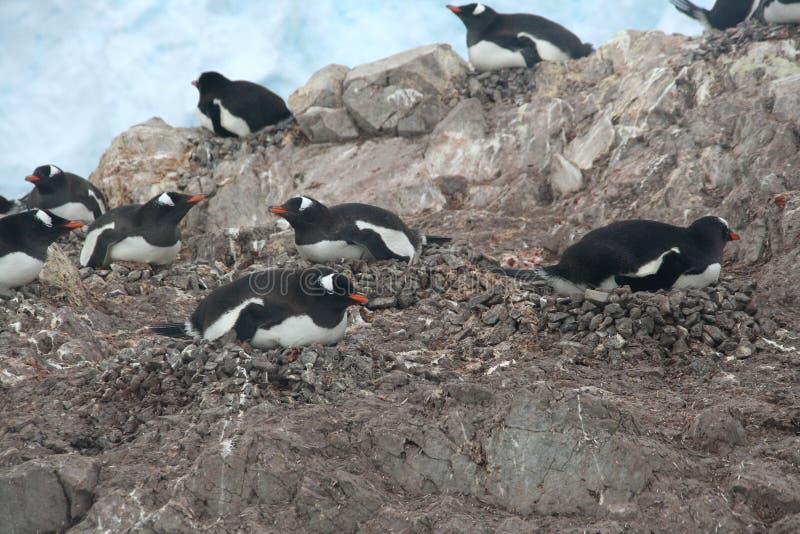 Gentoo penguins, nesting stock photos