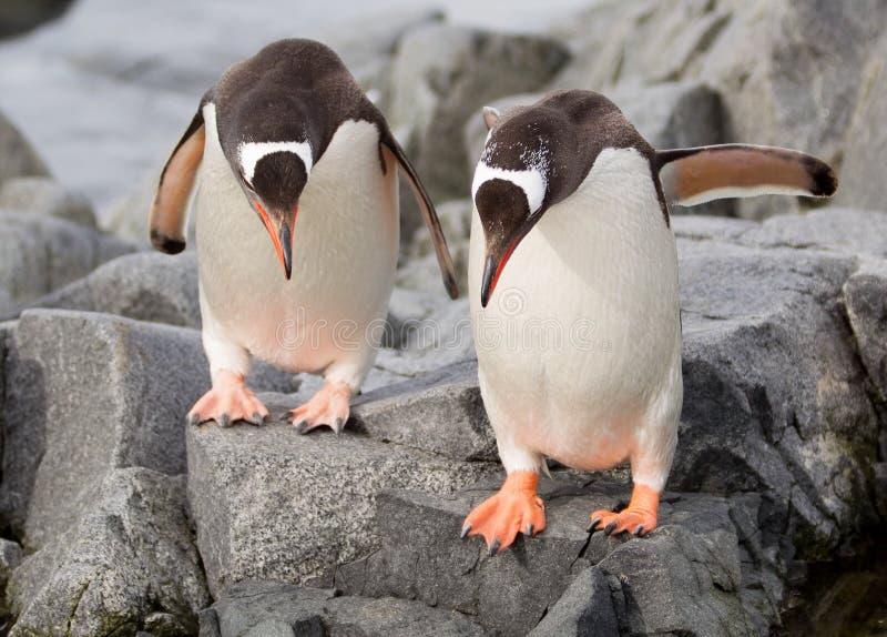 Download Gentoo Penguins Royalty Free Stock Images - Image: 34794629