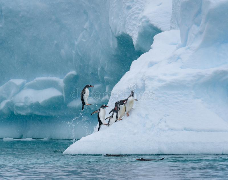 Gentoo penguins playing on a large snow covered iceberg, penguins jumping out of the water onto the iceberg, snowy day and blue ic royalty free stock images