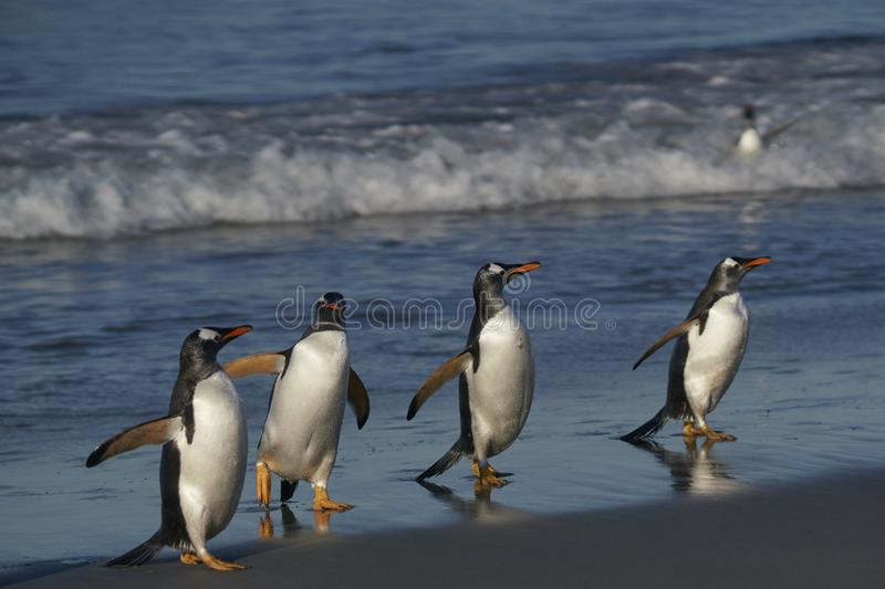 Gentoo Penguins coming ashore in the Falkland Islands. Gentoo Penguins [Pygoscelis papua] coming ashore after feeding at sea on Sea Lion Island in the Falkland stock image