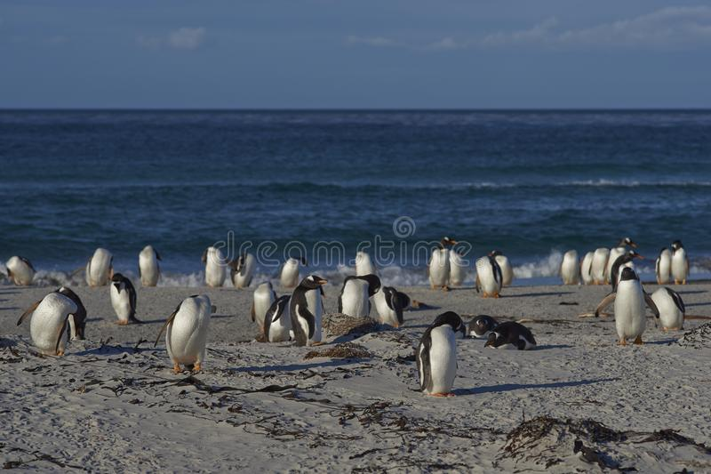 Gentoo Penguins on a sandy beach royalty free stock image