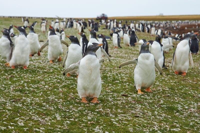 Gentoo Penguins stock image