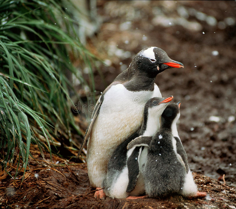 Gentoo Penguins, South Georgia. A gentoo penguin mother and her chicks huddle for safety and protection from the snow and intruders (such as the humans taking