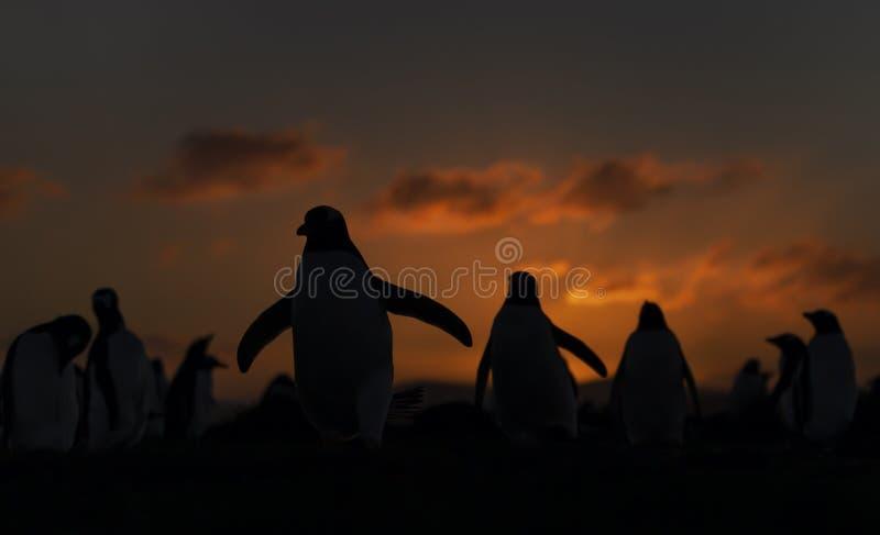 Gentoo penguins at sunset, Falkland Islands royalty free stock image