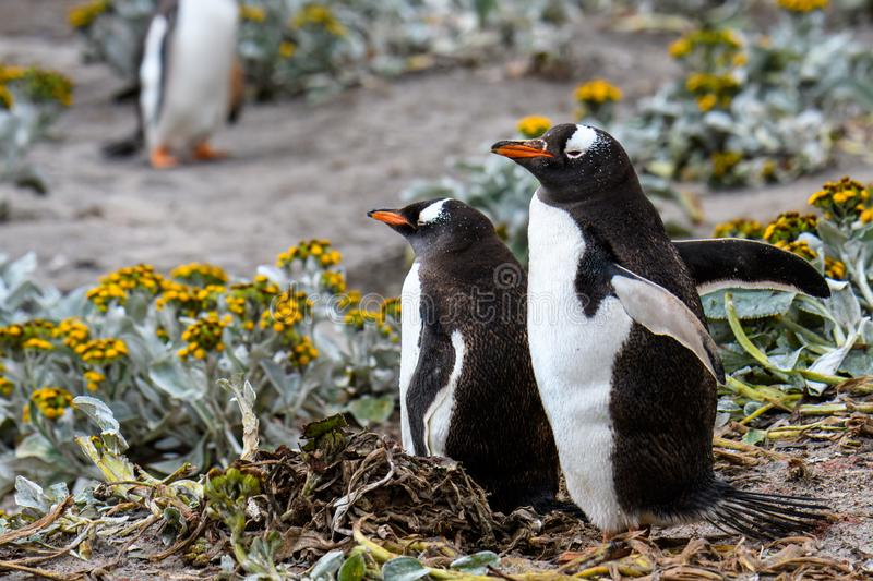 Gentoo Penguins in yellow Sea Cabbage plants on the beach, Falkland Islands royalty free stock image