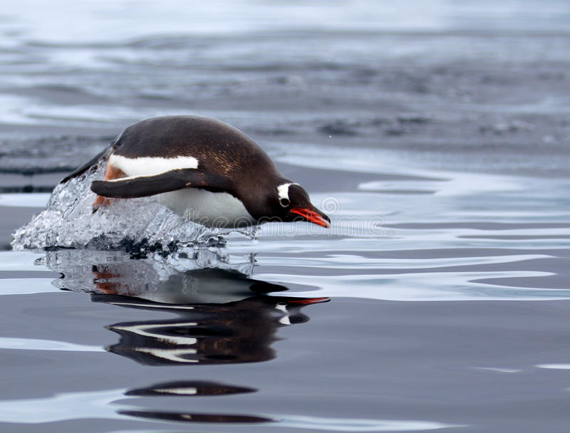 Gentoo-Pinguin stockbild