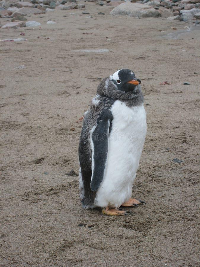 Gentoo Pinguin am Neko Hafen lizenzfreie stockfotografie
