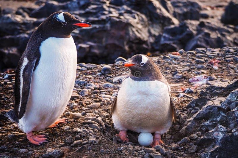 Gentoo-Pinguin Pygoscelis Papua mit Ei stockfoto
