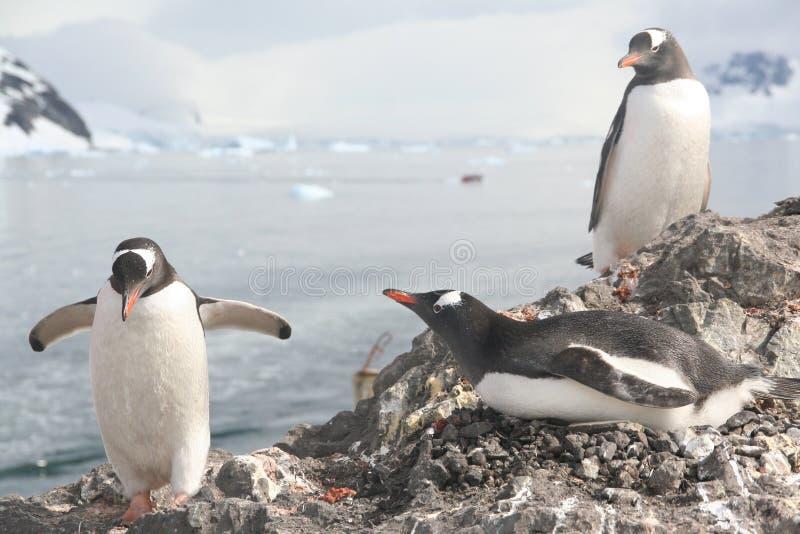 Gentoo Pinguin, seinen Gehilfen auf Nest grüßend stockfoto