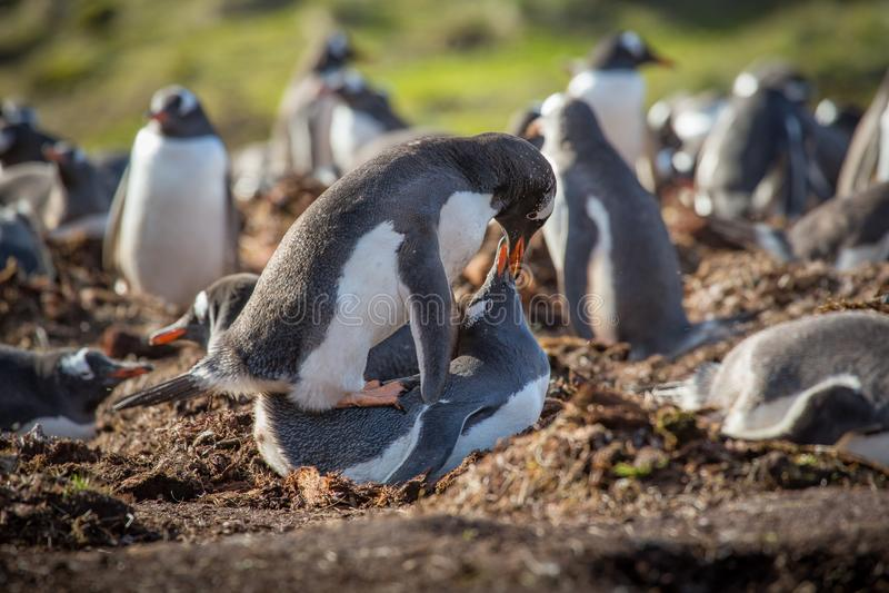 Gentoo-Pinguinanschluß stockbilder