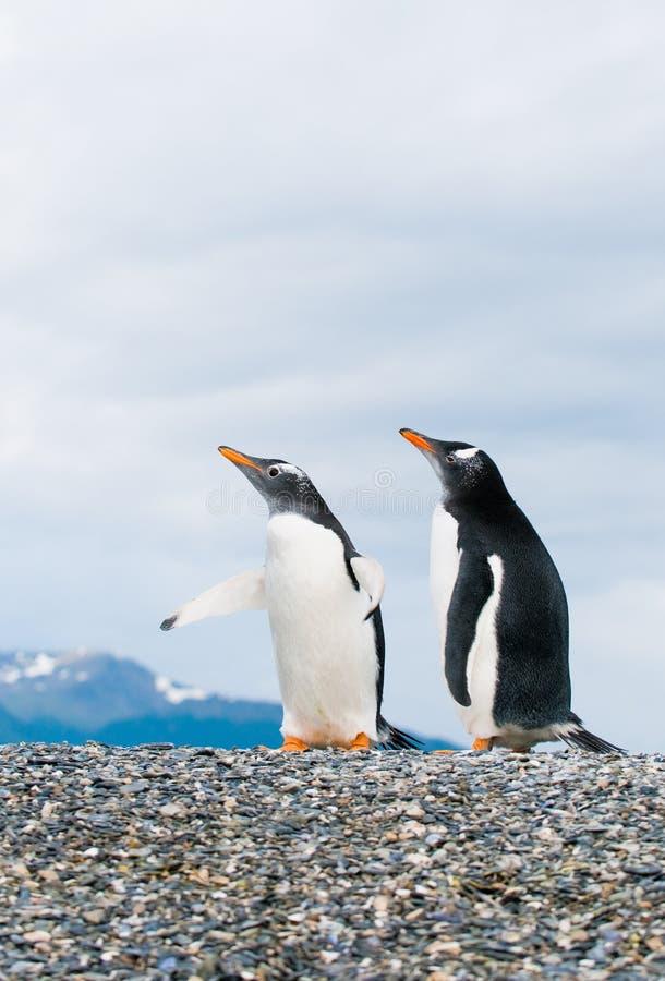 Gentoo Pinguine lizenzfreies stockfoto