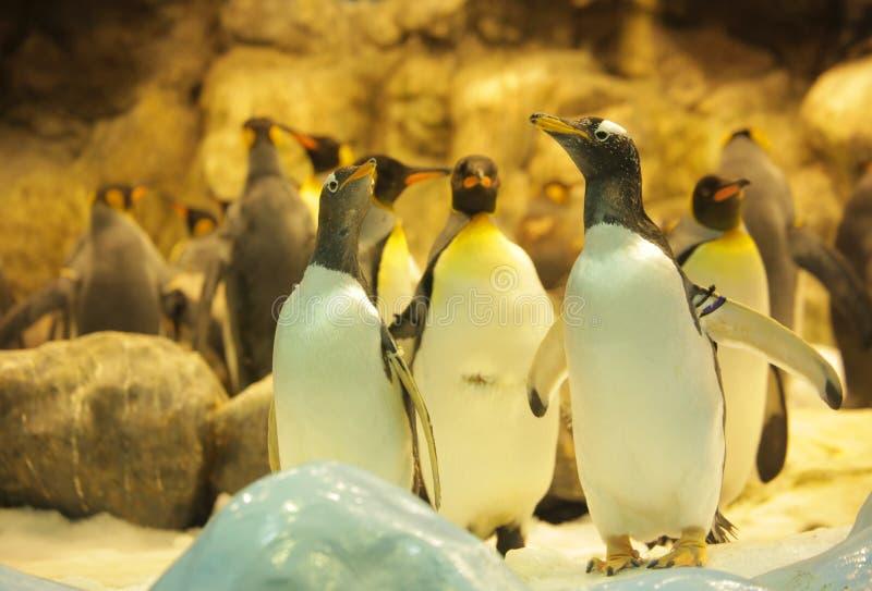 Gentoo-Pinguine lizenzfreies stockfoto