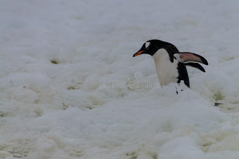 Gentoo-Pinguine auf Cuverville-Insel, die Antarktis lizenzfreies stockfoto