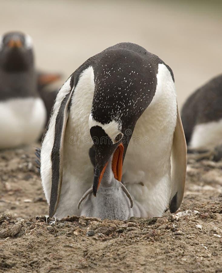 Gentoo Pinguine (Pygoscelis Papua) stockbild