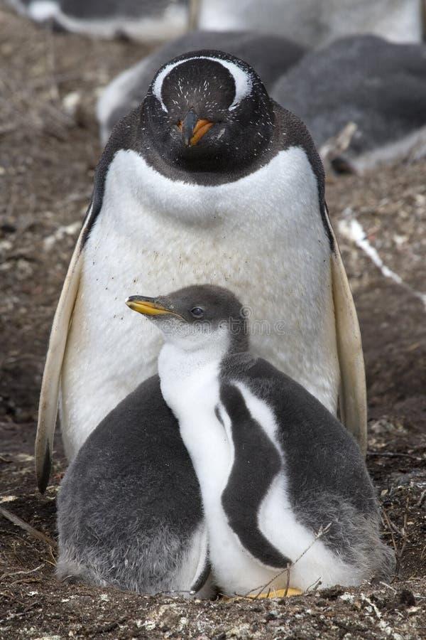 Gentoo Pinguine (Pygoscelis Papua) stockfoto
