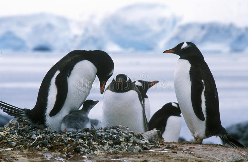 Gentoo-Pinguine und Küken (Pygoscelis Papua) an der Krähenkolonie im Paradies-Hafen, die Antarktis stockfotografie