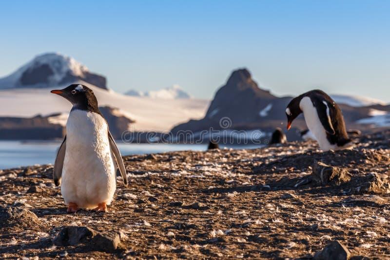 Gentoo-Pinguinküken, welche die Sonne in der Barrientos-Insel enjoing sind, lizenzfreie stockfotografie