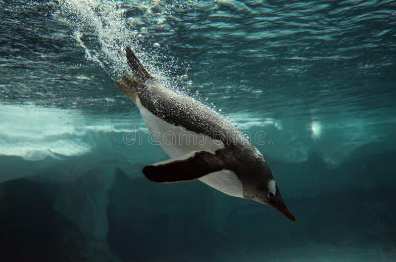 Gentoo-Pinguinschwimmen Unterwasser lizenzfreie stockbilder