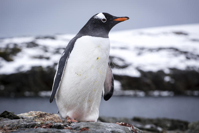 Gentoo pingvin arkivfoto