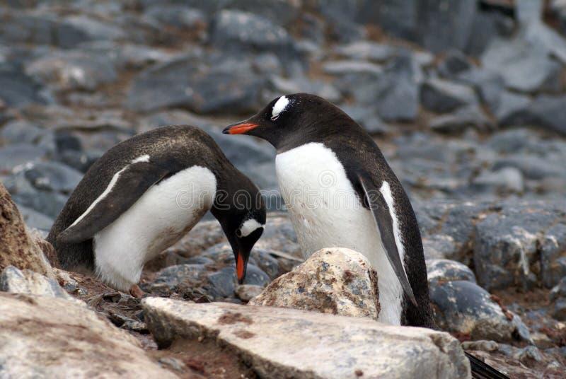 Gentoo pingvin i Antarktis arkivfoto