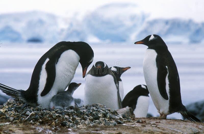 Gentoo pingvin och fågelungar (pygoscelisen papua) på råkkolonin i paradishamnen, Antarktis arkivbild