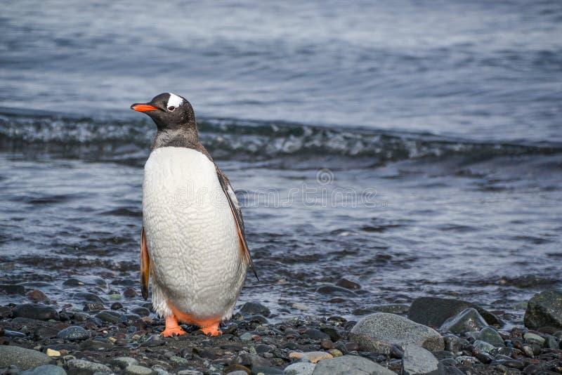 Gentoo pingvinanseende på de steniga shorelinesna av Antarktis arkivfoto
