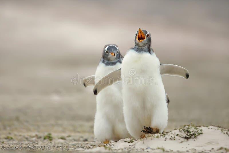 Gentoo pingvinfågelunge som jagar dess sibling på en sandig kust arkivfoto