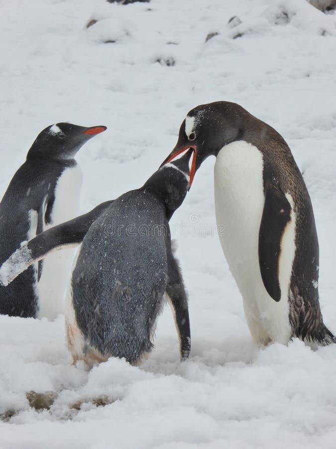 Gentoo pingwin zapewnia posiłek swój kurczątko na Antarktycznym półwysepie fotografia stock