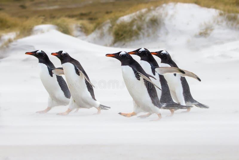 Gentoo pingwiny biega morze obraz royalty free