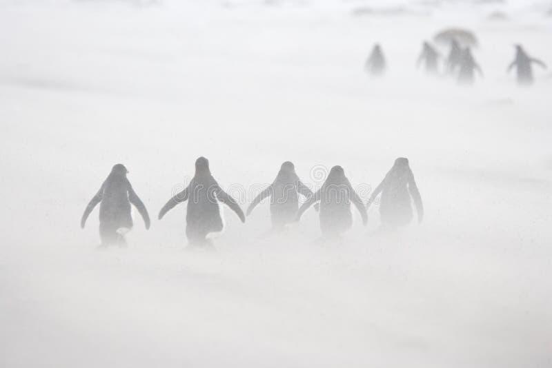 Gentoo pingwiny maszeruje przez podmuchowego śniegu zdjęcia stock