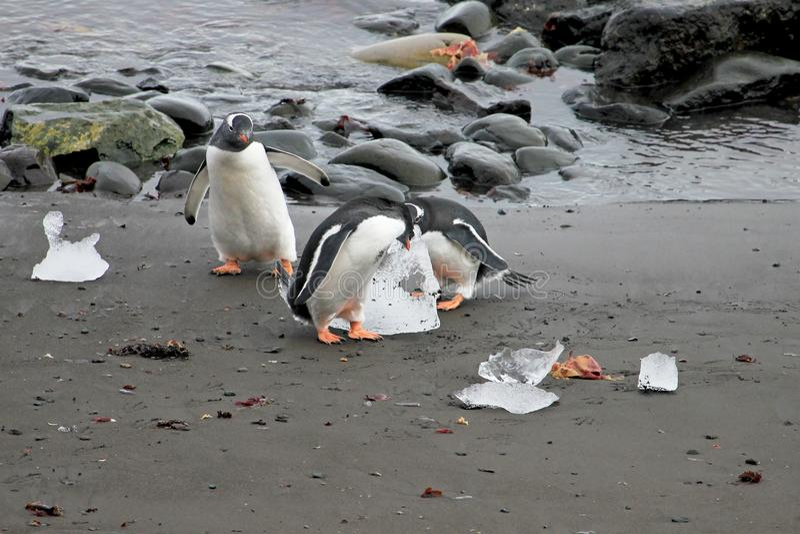 Gentoo pingwiny, Pygoscelis Papua, Antarktyczny półwysep fotografia royalty free