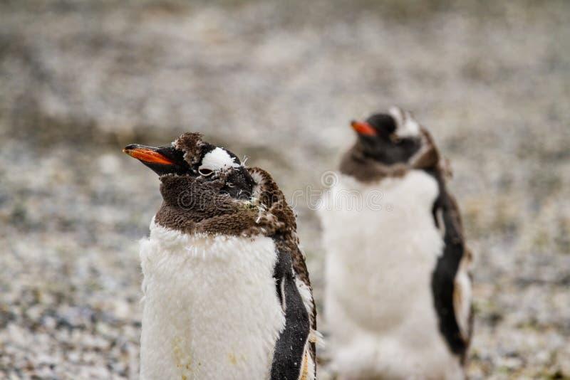 Gentoo pingwiny, Pygoscelis Papua, chodzi na skalistej żwir plaży zdjęcia royalty free