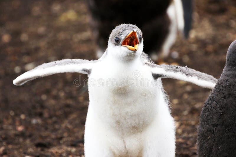 Gentoopinguïn Chick Peeping voor Voedsel Falkland Islands Licht hoofdmotieonduidelijk beeld stock foto