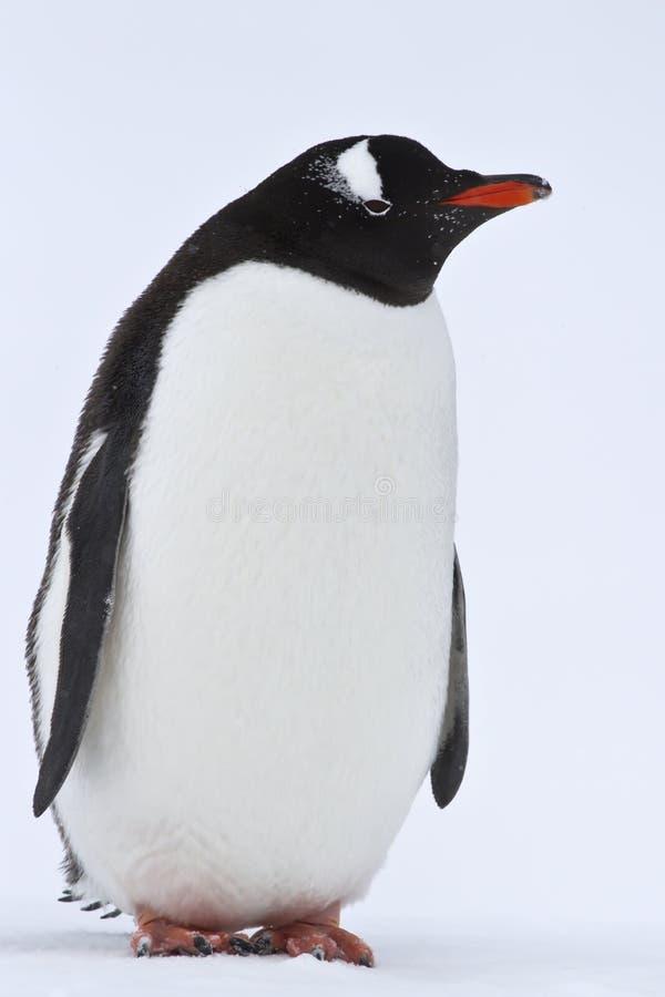 Gentoopinguïn die zich op de sneeuw in Antarctica bevinden stock foto