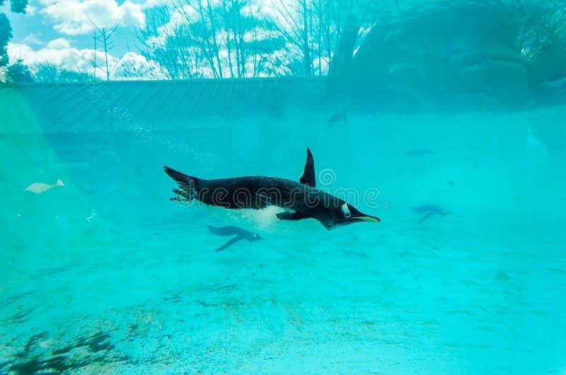 Gentoopinguïn (Pygoscelis Papoea), onderwater zwemmen royalty-vrije stock fotografie