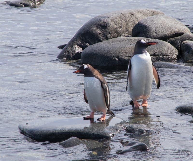 Gentoopinguïnen in Antarctica stock afbeeldingen