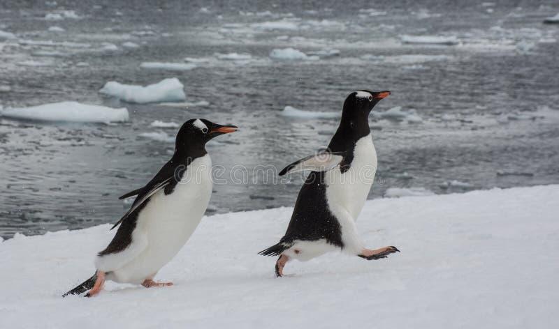 Gentoopinguïnen die elkaar op Danco-Eiland, Antarctisch Schiereiland achtervolgen royalty-vrije stock foto's