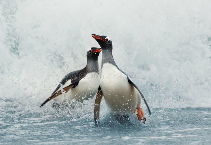 Gentoopinguïnen die op kust uit de stormachtige Atlantische Oceaan komen royalty-vrije stock afbeelding