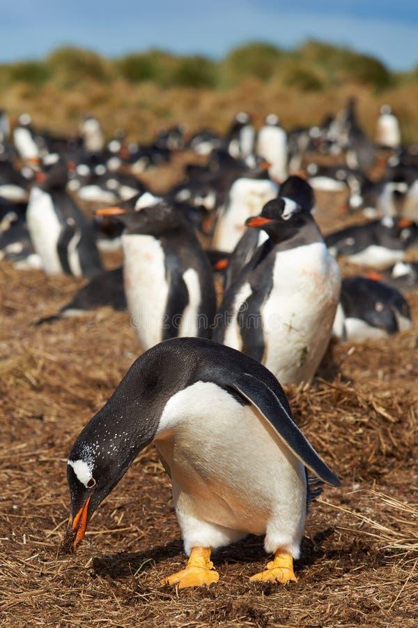 Gentoopinguïnen - Falkland Islands stock afbeeldingen