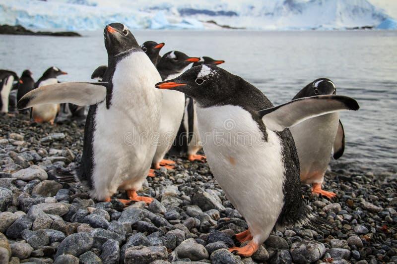 Gentoopinguïnen vriendschappelijk spelen, Cuverville-Eiland, Antarctica stock fotografie
