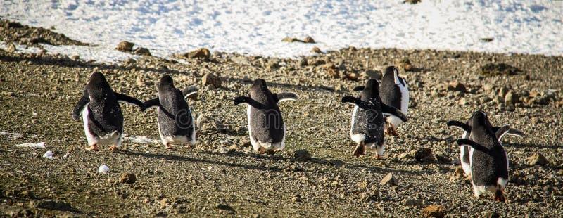 Gentoopinguïnen, Zuid-Shetland-eilanden, Antarctica stock fotografie